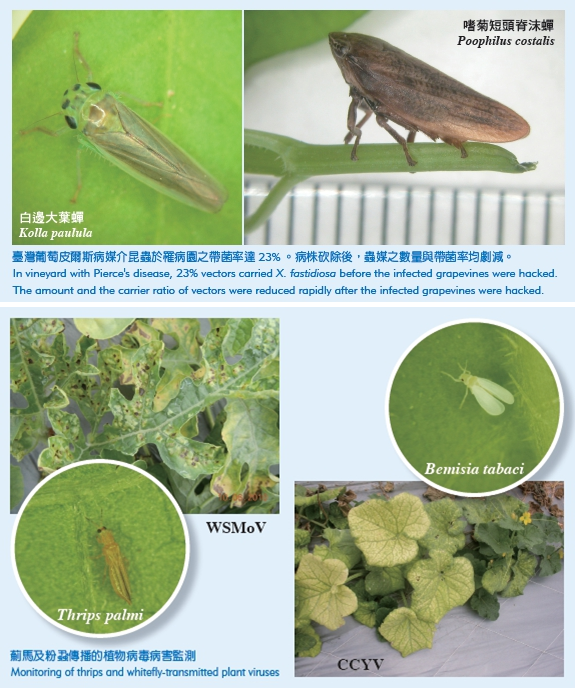 Kolla paulula and Poophilus costalis (the above picture) Monitoring of thrips and whitefly-transmitted plant viruses(the following picture)